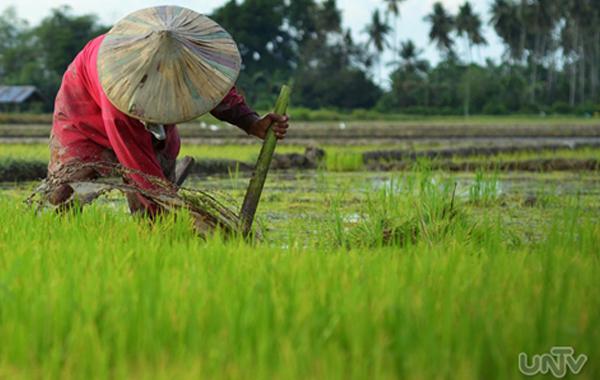 UNTVweb__PHOTOVILLE-International__image__070612__rice-farmer_rice